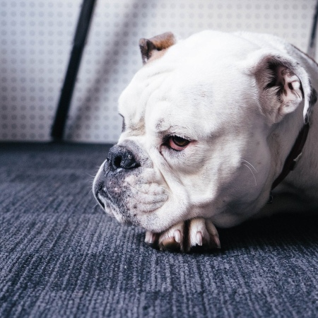 foto of an adult white English bulldog lying on a rug